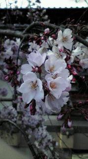 なぜか今頃の桜